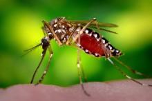 Nyamuk Aedes turut menjadi pembawa virus Zika.